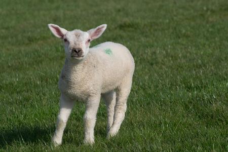 pasen schaap: Witte lam staande op het gras voor de camera