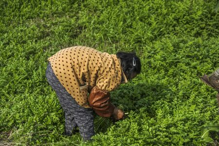 bend over: The old woman picking wild herbs Stock Photo