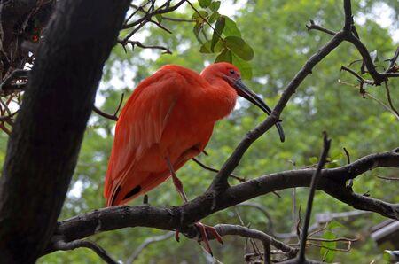 scarlet: Scarlet ibis on a tree