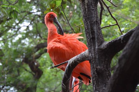 scarlet: Scarlet ibis cleans feathers Stock Photo