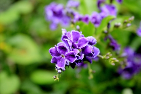 dewdrop: Golden Dewdrop Flower; Duranta Erecta