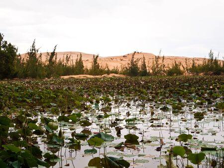 Beautiful lotus lake in white sand dunes Mui Ne, Vietnam  photo