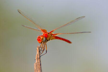 Red Dragonfly � procura de comida Banco de Imagens