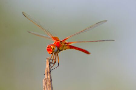 Red Dragonfly looking for food