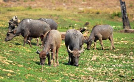Herd of buffalo were grazing Stock Photo