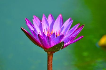 Lotus in Vachirabenjatas Park Thailand Stock Photo - 18827731