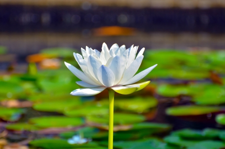 Lotus in Vachirabenjatas Park Thailand Stock Photo - 18827815