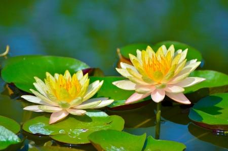 Lotus em Vachirabenjatas Parque Tail