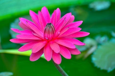 Lotus in Vachirabenjatas Park Thailand Stock Photo - 18827759