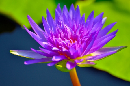 Lotus in Vachirabenjatas Park Thailand Stock Photo