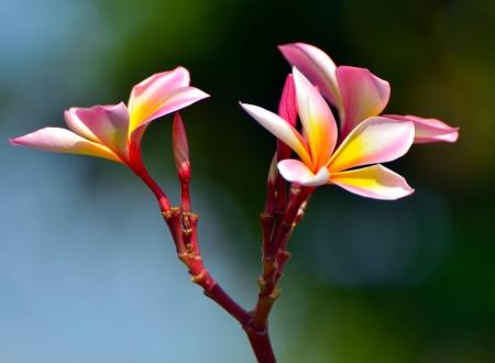 Tropical flowers frangipani  plumeria