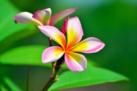 As flores tropicais frangipani plumeria
