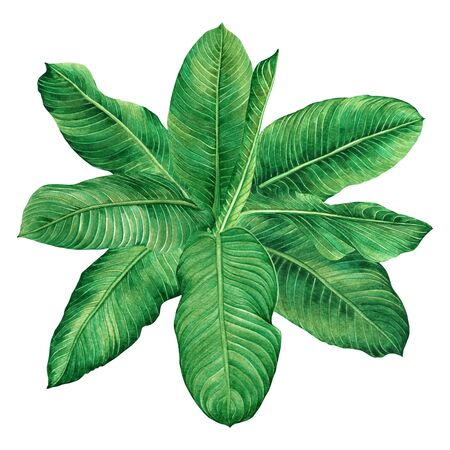 Watercolor painting green leaves,palm leaf isolated on white background.Watercolor hand painted illustration tropical,aloha exotic leaf for wallpaper tree,jungle,forest Hawaii style pattern.