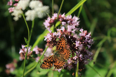 butterfly and flower in Breinig Rhineland Germany Europe