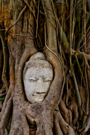 monk head in the banyan tree at wat phra mahathat ayutthaya Stock Photo - 14077596