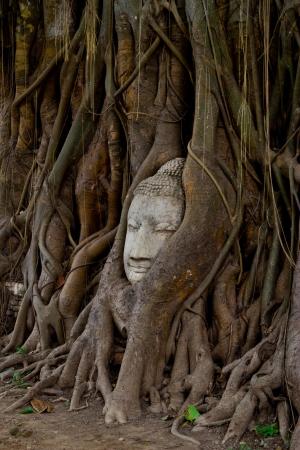 monk head in the banyan tree at wat phra mahathat ayutthaya Stock Photo - 14077598