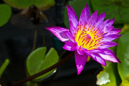 the lotus is violet at wat nonggaka