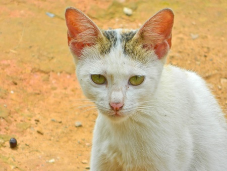 nant: white cat at nant thailand Stock Photo