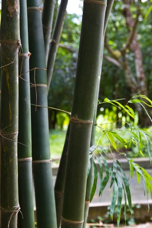 pacification: bamboo grove. Can be used as background at chonburi thailand. Stock Photo