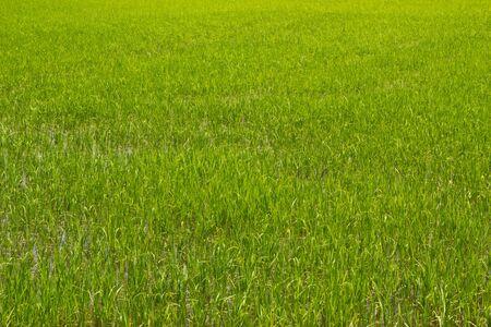 first step make rice farm at thailand photo
