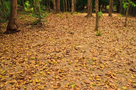 autumn leaves at cholburi forest photo
