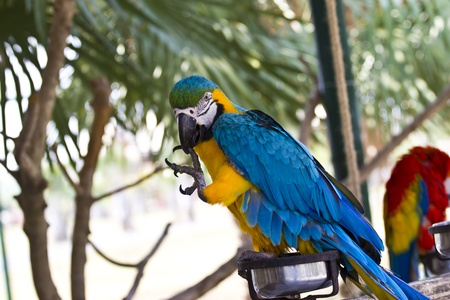 colorful couple macaws sitting on log. photo