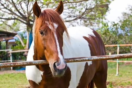 Koń w Tajlandii photo
