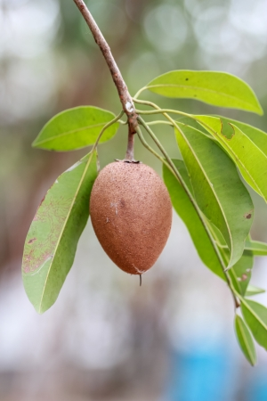 Sapodilla fruta en el ?rbol photo