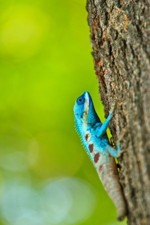 Blue iguana on tree branch photo