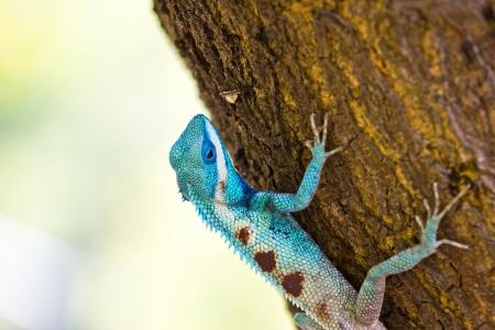 Blue iguana on tree branch photo