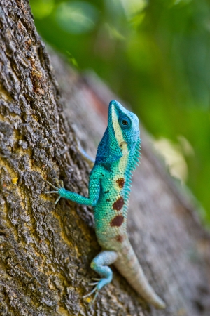 Blue iguana on tree branch Stock Photo - 19971040