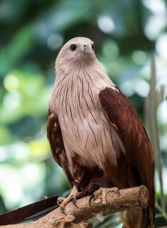 curved leg: Red Hawk in the zoo,Thailand