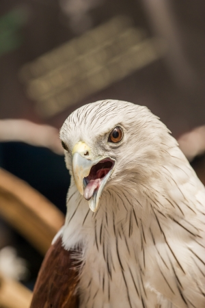talons: Red Hawk in the zoo,Thailand. Stock Photo
