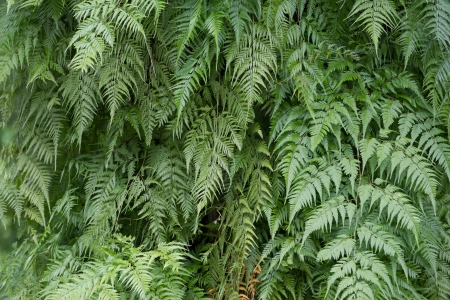 polypodiopsida: Detail of a beautiful leaf of Fern. Stock Photo