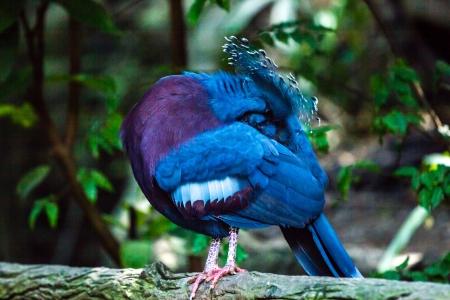 빅토리아 왕관 비둘기 스톡 콘텐츠
