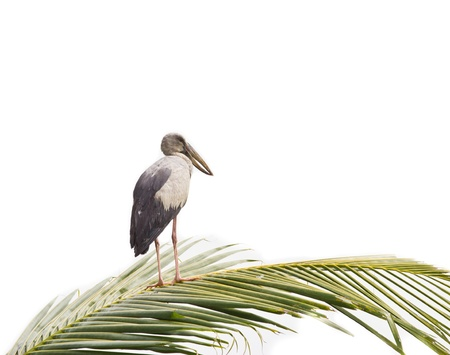oscitans: Asian Openbill standing on coconut leaf