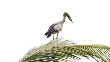 anastomus: Asian Openbill standing on coconut leaf