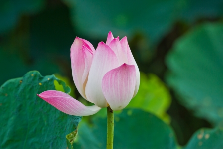 Lotus flower and Lotus flower plants photo