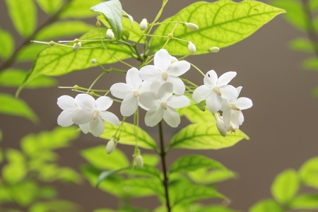 jessamine: white flower orange jessamine Stock Photo