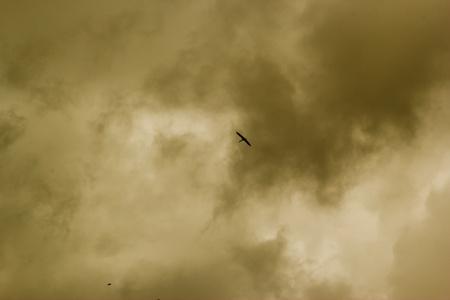 endothermic: Beautiful Openbill stork on flight Stock Photo