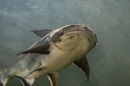 Giant Catfish (Pangasianodon gigas) photographed in an aquarium