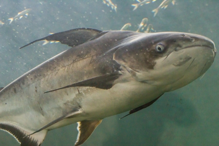 wildllife: Giant Catfish (Pangasianodon gigas) photographed in an aquarium
