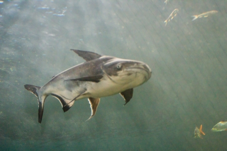 Giant Catfish (Pangasianodon gigas) photographed in an aquarium photo