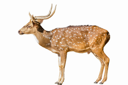 Cute spotted fallow deer isolated on white Stock Photo - 23422065