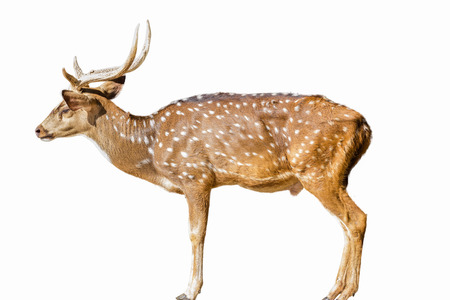 Cute spotted fallow deer isolated on white photo