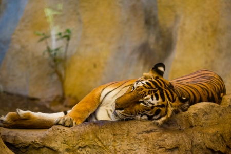 red adult tiger has a rest in a zoo.