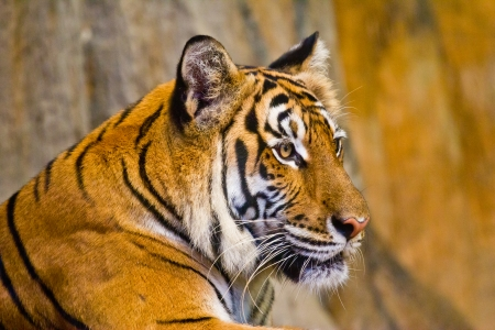 Portrait of Amur Tigers photo