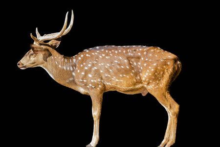 blotched: Cute spotted fallow deer isolated on white