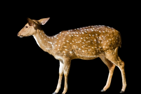 Cute spotted fallow deer isolated on white Stock Photo - 23505127
