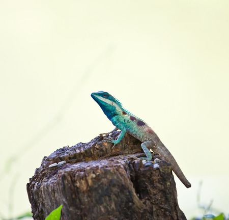 Blue iguana in the nature photo